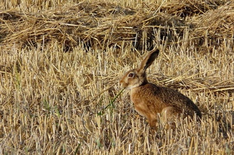 Охота с луком на зайца.