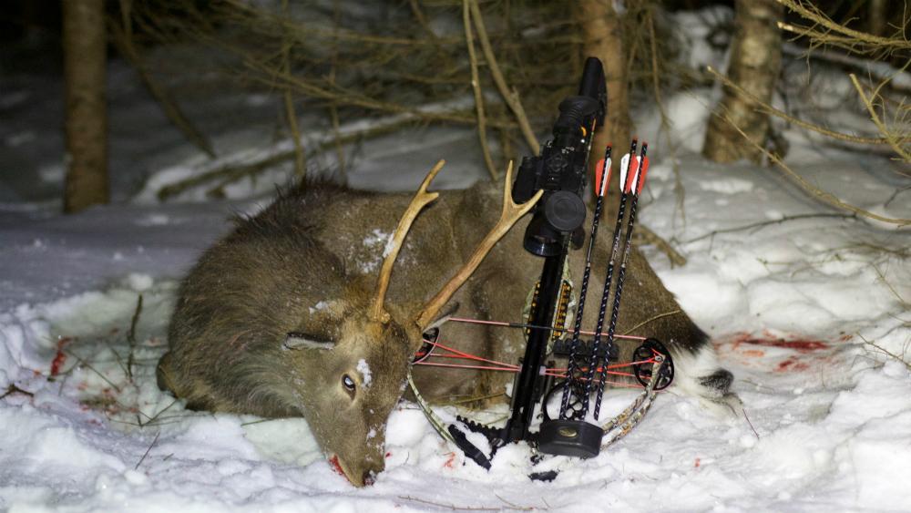 Охота на лося из арбалета.