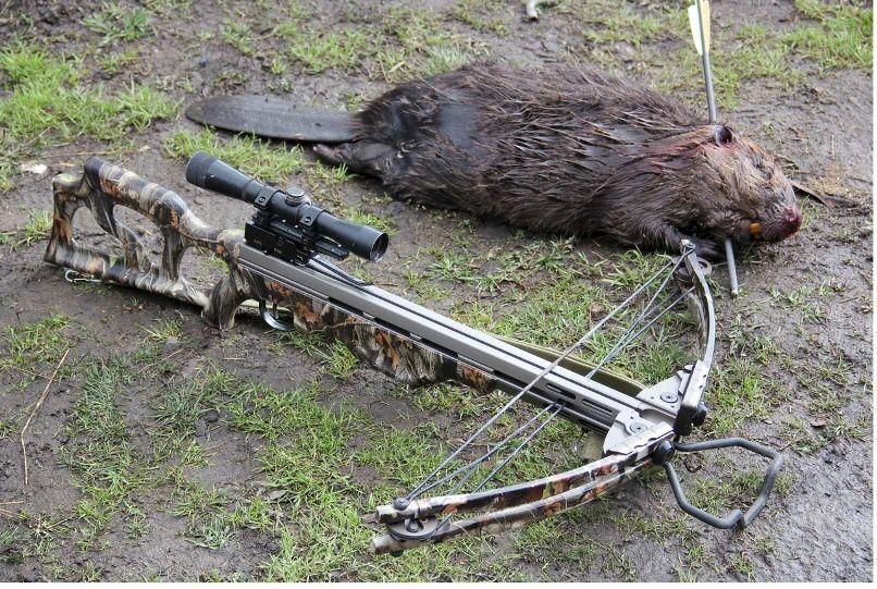 Охота на бобра.
